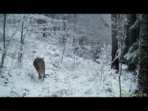 Deer frolic in frozen forest in Romania