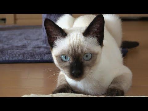 忍び足で迫ってくるシャム子猫が面白い😸🐾