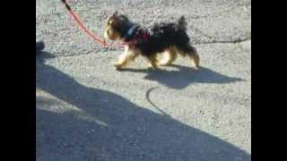 2008年10月。生後3か月のヨーキー。初めてのお散歩。最後に近くを走っ...