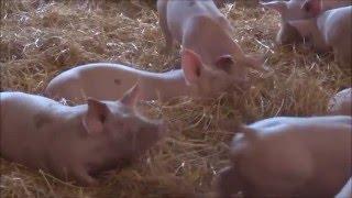 Des cochons élevés sur la paille ! Ferme Beauvais