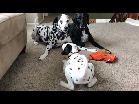 Tiny Dalmatian Puppy Getting Brave with Bigger Brother and Sister