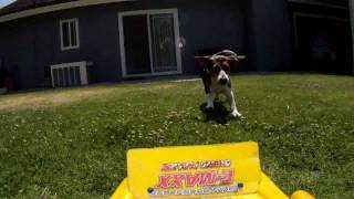 Freckles The Beagle Exercises With Rc Truck