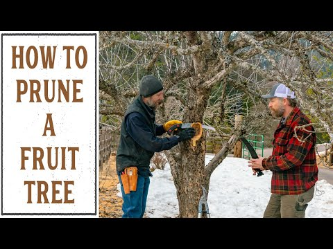 HOW TO PRUNE A FRUIT TREE (THAT'S BEEN NEGLECTED FOR YEARS)