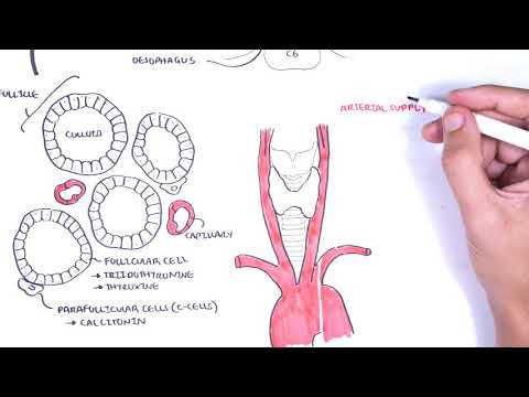 Thyroid Gland Anatomy Embryology Blood Supply Venous Drainage