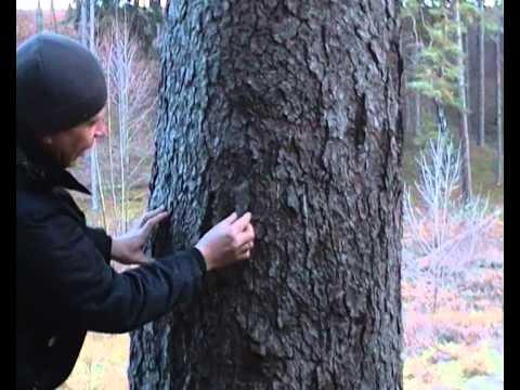 как отличить елку от сосны