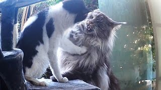 Animals Attack...MAINE COON CAT and LITTLE CAT !!! biggest cat breeds in the world