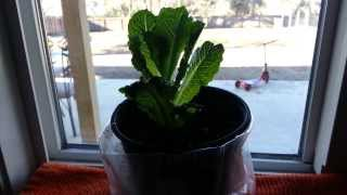 How to regrow romaine lettuce from the store