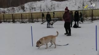 Дрессировка собак, команды рядом и обход, переключения на движении, группа площадка