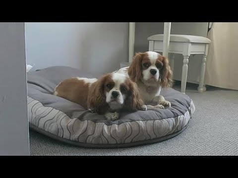Bobby & Bailey - Cavalier King Charles Spaniels - 2 Weeks Residential Dog Training