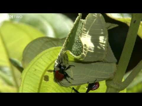 Bizarre Giraffe Necked Weevils Fight For A Mate