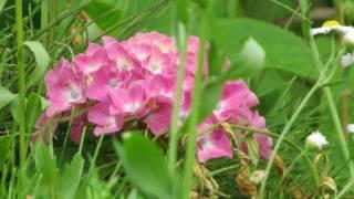 紫陽花とカラス thumbnail
