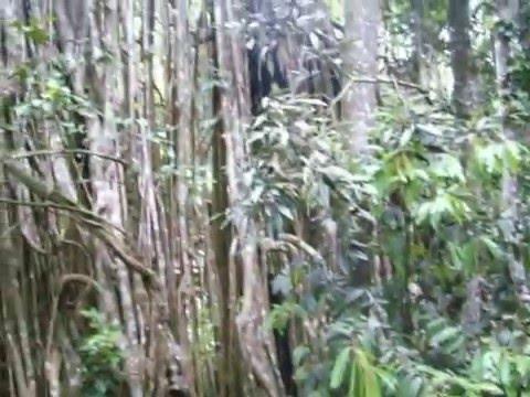 The Curtain Fig Tree Australia