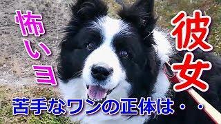 我が家の愛犬ハリー(♂)の一応彼女ですが苦手なようです。散歩中に出会...
