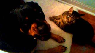 Rottweiler Mia Loves To Clean Toby The Cat's Ears.3gp