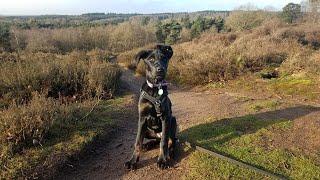 Petra  17 Week Old Doberman x German Shepherd Puppy  3 Weeks Residential Dog Training