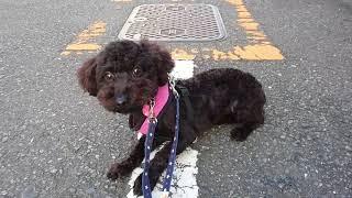 里親募集中プードルmix♀(3歳)、慣れないお散歩頑張ってます! thumbnail