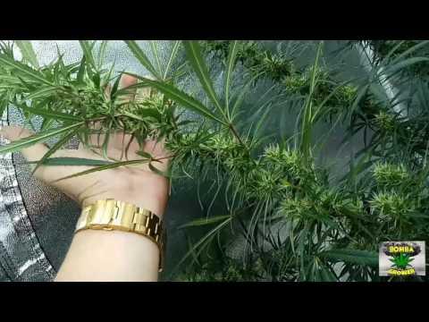 Floração cannabis Sativa - 5 semana de floração - SORTEIO - Marihuana 2017 - plantar pra não comprar