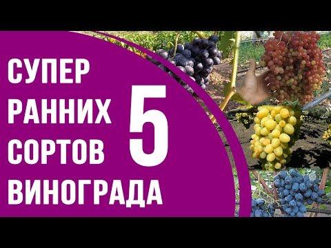 Супер ранние сорта винограда. ТОП 5 столовых сортов винограда ультрараннего срока созревания
