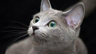 Русская голубая кошка Уход и Содержание, Породы кошек