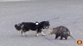 Опоссум гоняет собаку