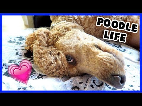 Standard Poodle Day in the Life | Odin's Day