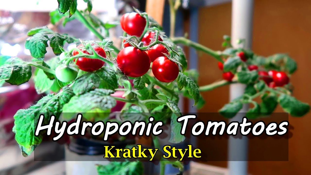 Growing Hydroponic Tomatoes Indoors Using the Kratky Method