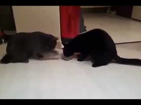Два кота а миска одна (Two cats, one bowl)