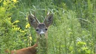 Охота на косулю с манком в Чехии