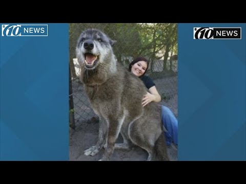 Mike Trivisonno - Huge Wolf Making Headlines In Florida
