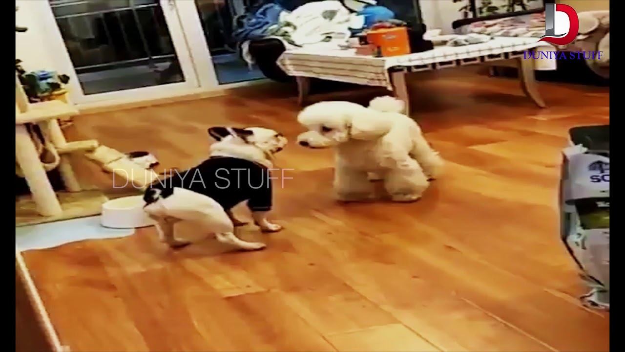 Best Compilation Of Dogs Dancing Top Funny Dogs Dancing Compilation Youtube