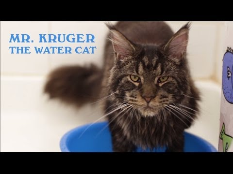 Maine coon cat loves water