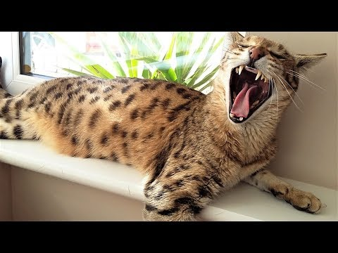 5 Reasons for NOT OWNING a Savannah cat