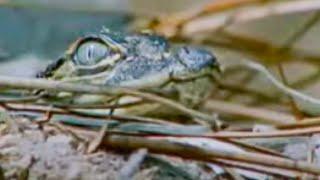 Baby Nile Crocodiles - King Croc - BBC Animals