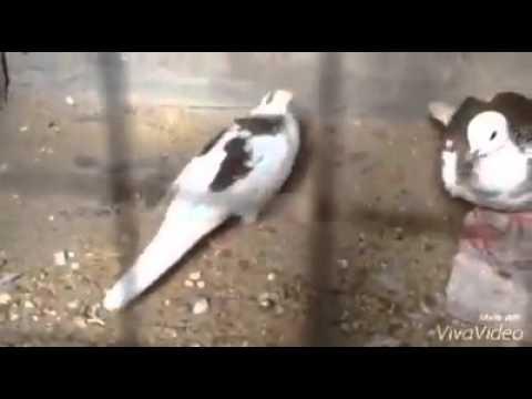chim bạch tạng gù đấu - 0975234918