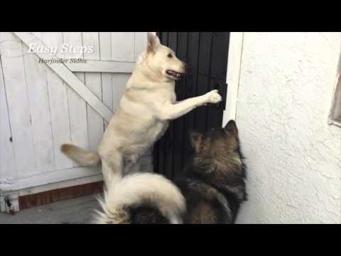German Shepherd Knows How To Open The Door | Alaskan Malamute Watch & Learn