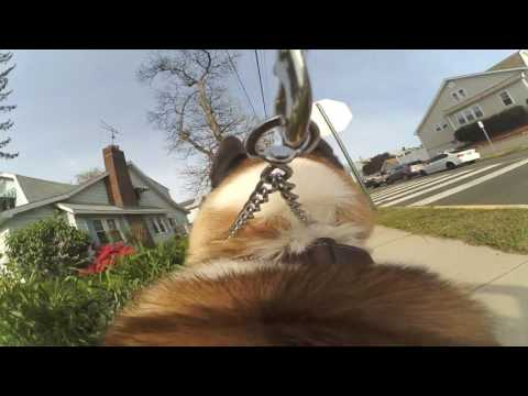 American Akita gopro harness!