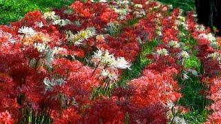 吉見町のさくら堤公園の土手に咲くヒガンバナは シナヒガンバナと呼ばれ...