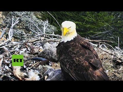 Un águila se asusta con un seísmo y abandona a sus pichones en el nido (pero todo sale bien)