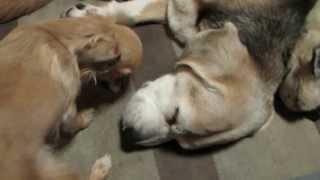 どうしてもビーグルと遊びたいチワワ。寝ているビーグルはちょっと迷惑?
