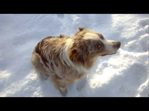 Talking Australian Shepherd Dog