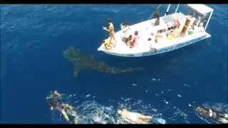 Baleines Rand'eau_Requin Baleine vue d'un drone_Nosy Be, Madagascar