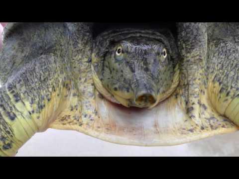 4K . Auto-Focus Close-Up .. Beautiful Texas Soft-Shell Turtle .. San Marcos-TX
