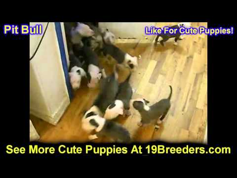 Pitbull Terrier, Puppies, For, Sale, In, Indianapolis, Indiana, IN, Valparaiso, Goshen, Westfield, M
