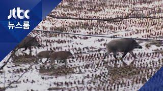 민통선 밖 '감염 멧돼지' 첫 발견…900명 투입 포획작전