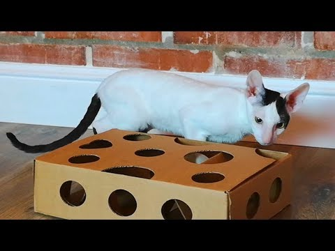 Maze toy for kitten Cornish Rex