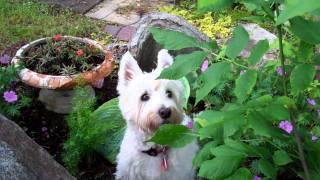 West Highland Terrier And Chipmunk Watching