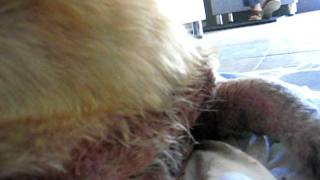 Собака с поражённой кожей (уже в клинике)