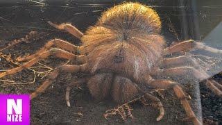 5 Spinnen aus der Urzeit!