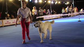 IDS Asia Winner 2019. 2 day. Международная выставка  собак Азия Виннер