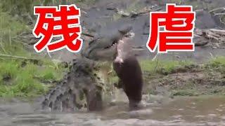 【驚くべき力】ワニがカバを喰い千切るところ thumbnail